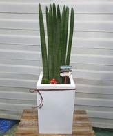 스투키상(공기정화식물)