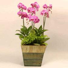 핑크 호접란 특(할인 시중가120,000).